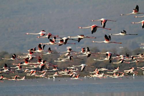 Greater Flamingo/Phoenicopterus roseus - Photographer: Светослав Спасов