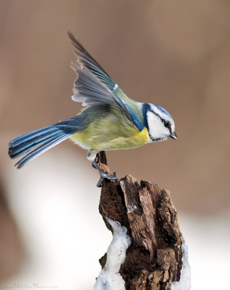 Blue Tit/Cyanistes caeruleus - Photographer: Николай Шопов