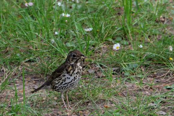 Song Thrush/Turdus philomelos - Photographer: Plamen Dimitrov