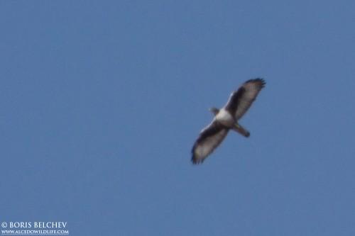 Bonelli's Eagle/Hieraaetus fasciatus - Photographer: Борис Белчев