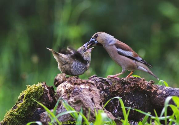 Hawfinch/Coccothraustes coccothraustes - Photographer: Николай Шопов