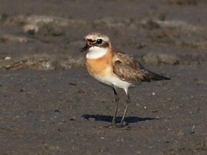Lasser sand plover/Charadrius mongolus - Photographer: Даниел Митев