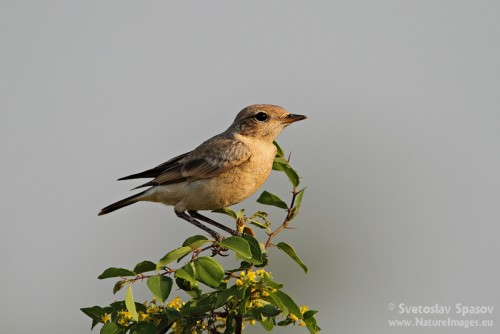 Isabelline Wheatear/Oenanthe isabellina - Photographer: Светослав Спасов