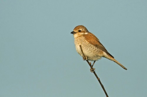 Red-backed Shrike/Lanius collurio - Photographer: Борис Белчев
