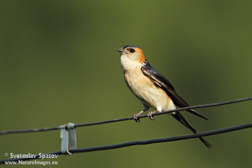 Red-rumped Swallow/Cecropis daurica - Photographer: Светослав Спасов