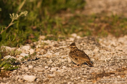 Wood Lark/Lullula arborea - Photographer: Борис Белчев