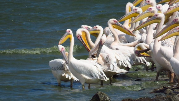 Great White Pelican/Pelecanus onocrotalus - Photographer: Анита Соколова-Ставрева