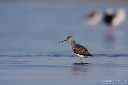 Marsh Sandpiper/Tringa stagnatilis - Photographer: Борис Белчев