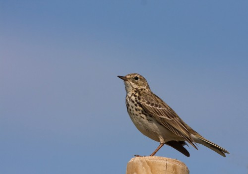 Meadow Pipit/Anthus pratensis - Photographer: Борис Белчев