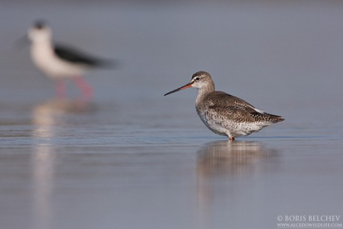 Spotted Redshank/Tringa erythropus - Photographer: Борис Белчев