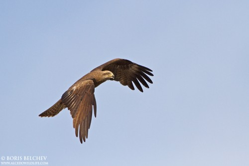 Black Kite/Milvus migrans - Photographer: Борис Белчев