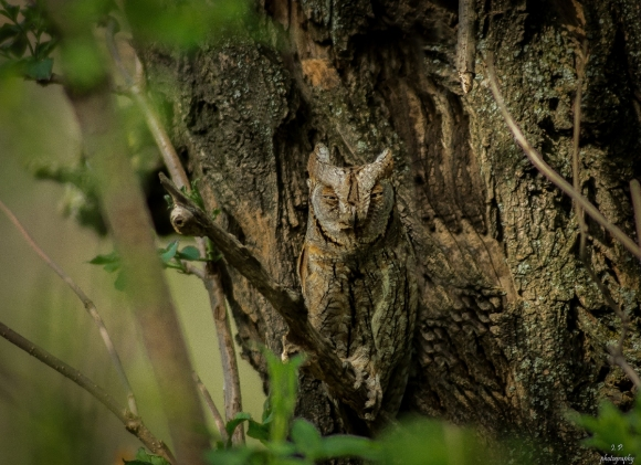 Common Scops-owl/Otus scops - Photographer: Иван Павлов