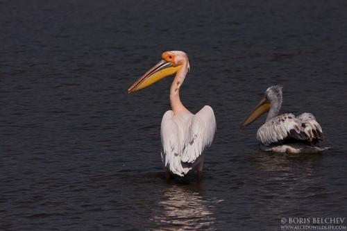 Great White Pelican/Pelecanus onocrotalus - Photographer: Борис Белчев