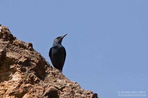 Blue Rock-thrush/Monticola solitarius - Photographer: Борис Белчев