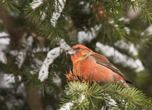 Red Crossbill/Loxia curvirostra - Photographer: Борис Белчев