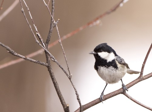 Coal Tit/Periparus ater - Photographer: Богдан Боев