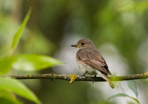 Spotted Flycatcher/Muscicapa striata - Photographer: Борис Белчев