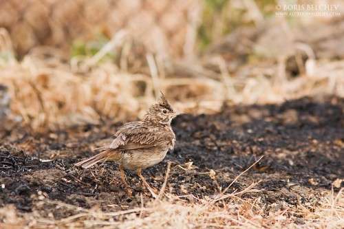 Crested Lark/Galerida cristata - Photographer: Борис Белчев