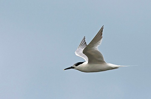 Sandwich Tern/Sterna sandvicensis - Photographer: Борис Белчев