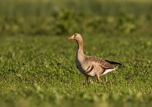 Greater White-fronted Goose/Anser albifrons - Photographer: Борис Белчев