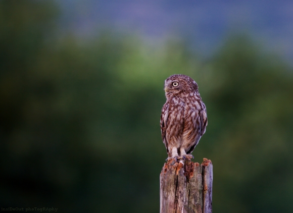 Little Owl/Athene noctua - Photographer: Николай Шопов