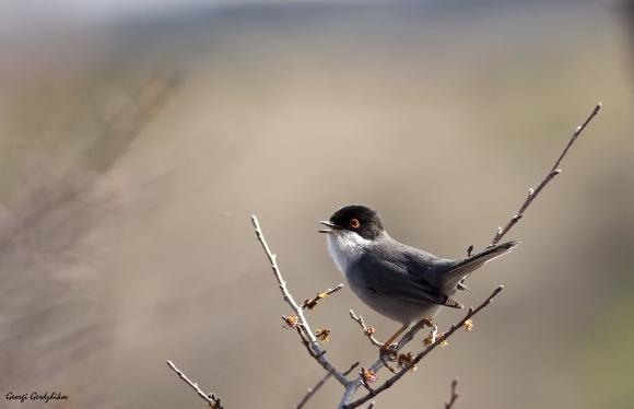Sardinian Warbler/Sylvia melanocephala - Photographer: Георги Герджиков
