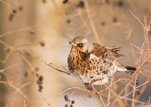 Fieldfare/Turdus pilaris - Photographer: Борис Белчев