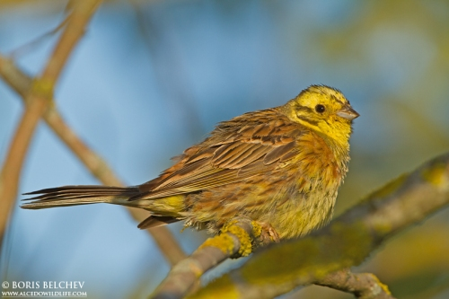 Жълта овесарка/Emberiza citrinella - Фотограф: Борис Белчев