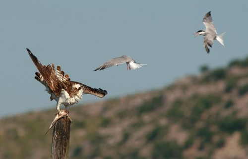 Osprey/Pandion haliaetus - Photographer: Чавдар Гечев