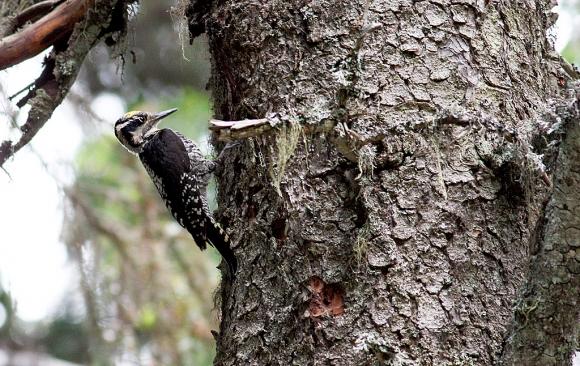 Three-toed Woodpecker/Picoides tridactylus - Photographer: Георги Герджиков