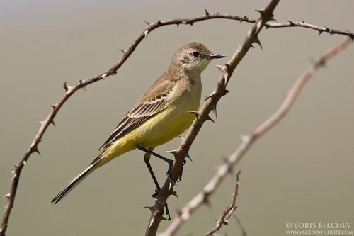 Yellow Wagtail/Motacilla flava - Photographer: Борис Белчев