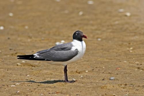 Laughing Gull/Larus atricilla - Photographer: Даниел Митев