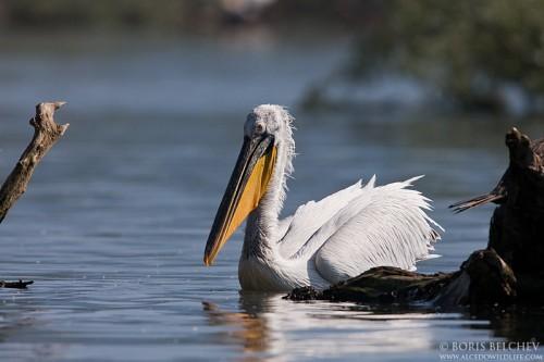 Къдроглав пеликан/Pelecanus crispus - Фотограф: Борис Белчев