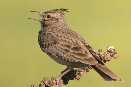 Crested Lark/Galerida cristata - Photographer: Борислав Борисов