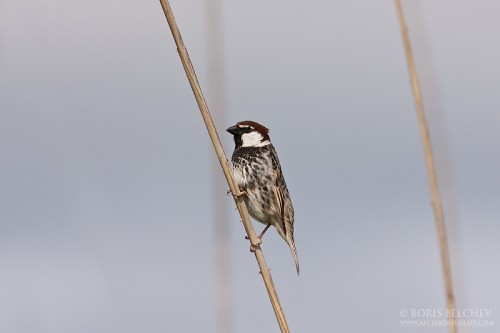 Spanish Sparrow/Passer hispaniolensis - Photographer: Борис Белчев