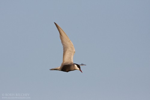 Whiskered Tern/Chlidonias hybridus - Photographer: Борис Белчев