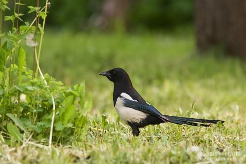 Black-billed Magpie/Pica pica - Photographer: Борис Белчев
