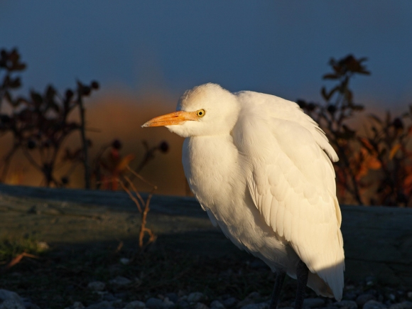 Cattle Egret/Bubulcus ibis - Photographer: Даниел Митев