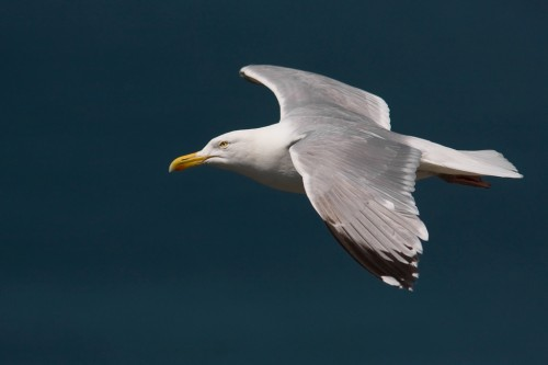 Herring Gull/Larus argentatus - Photographer: Борис Белчев