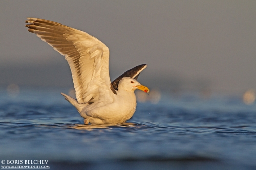 Great Black-backed Gull/Larus marinus - Photographer: Борис Белчев