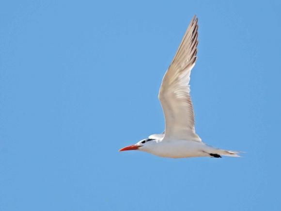 Royal Tern/Sterna maxima - Photographer: Даниел Митев