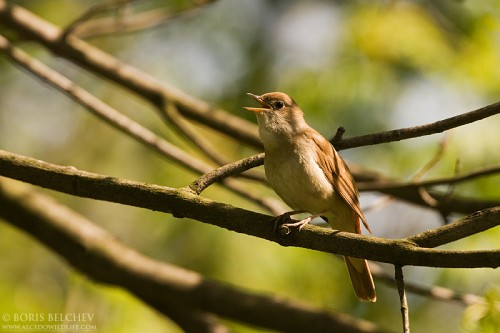 Common Nightingale/Luscinia megarhynchos - Photographer: Борис Белчев