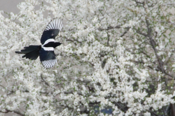 Black-billed Magpie/Pica pica - Photographer: Plamen Dimitrov
