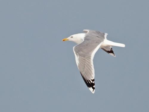 Caspian Gull/Larus cachinnans - Photographer: Даниел Митев