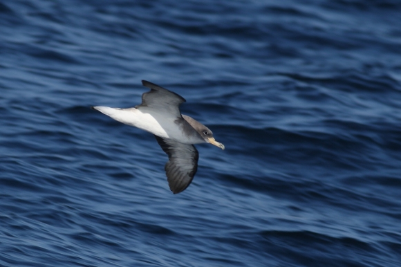 Cory's Shearwater/Calonectris diomedea - Photographer: Даниел Митев