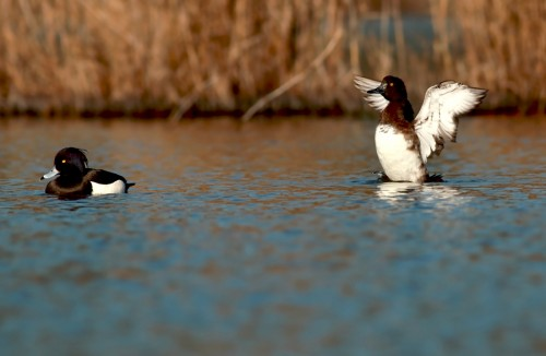 Tufted Duck/Aythya fuligula - Photographer: Чавдар Гечев