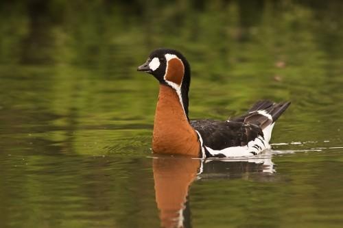 Red-breasted Goose/Branta ruficollis - Photographer: Борис Белчев