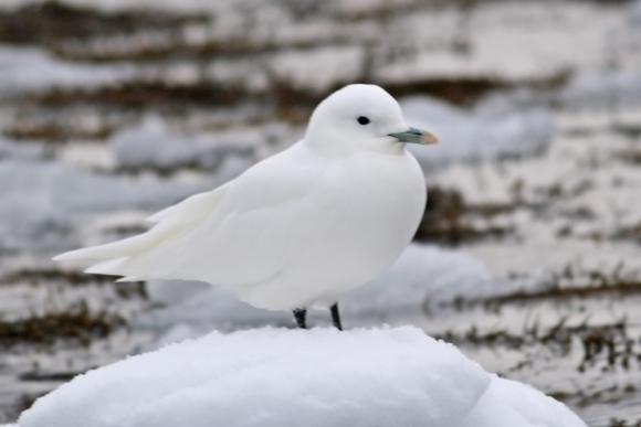 Ivory Gull/Pagophila eburnea - Photographer: Даниел Митев