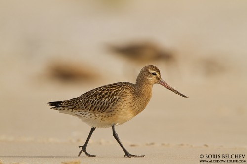 Bar-tailed Godwit/Limosa lapponica - Photographer: Борис Белчев