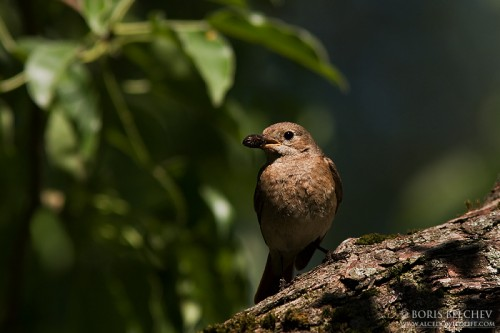 Common Redstart/Phoenicurus phoenicurus - Photographer: Борис Белчев